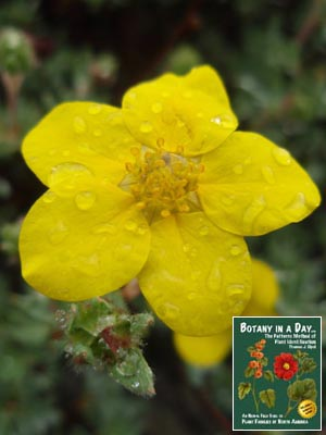 Rosaceae rose family identify plants flowers shrubs and trees pentaphylloides floribunda or potentilla fruticosa shrubby cinquefoil mightylinksfo Image collections
