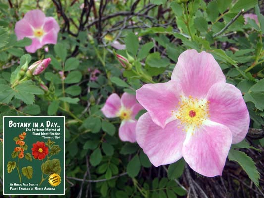 Rosaceae Rose Family Identify Plants Flowers Shrubs And Trees