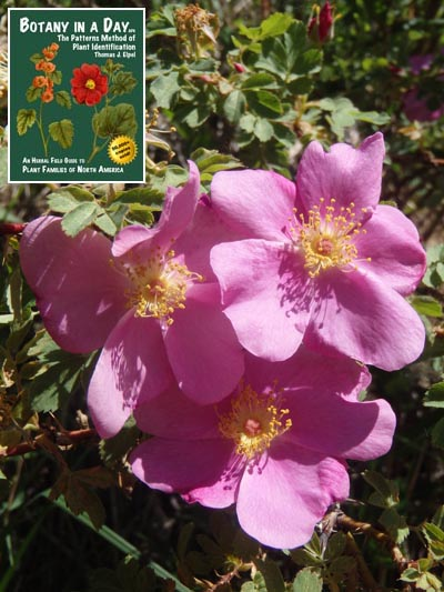 Rosaceae rose family identify plants flowers shrubs and trees rosa woodsii woods rose mightylinksfo