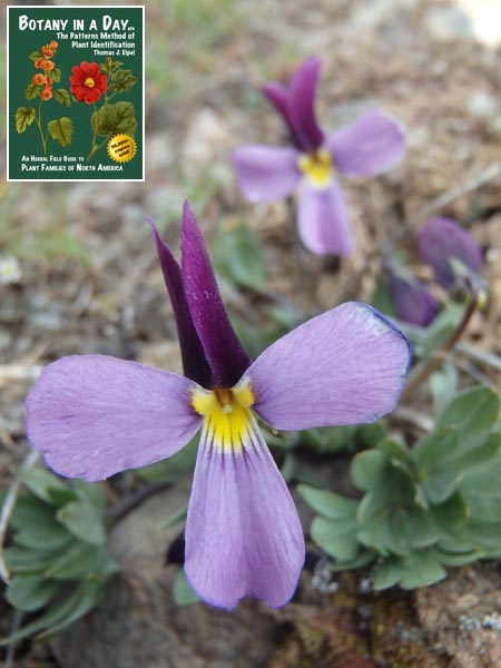 Violaceae: Violet Family  Identify plants and flowers